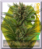 Zambeza Candy Caramelo Female 10 Weed Seeds